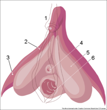 220px-Clitoris_inner_anatomy_numbers